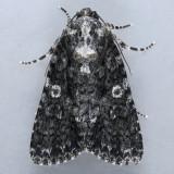 9254  Afflicted Dagger Moth - Acronicta afflicta
