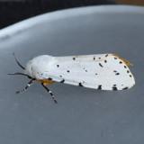 8131 Salt Marsh Moth  - Estigmene acrea