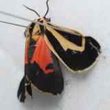 8170 Banded Tiger  – Apantesis vittata ***
