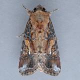 9670 Velvet Armyworm – Spodoptera latifascia