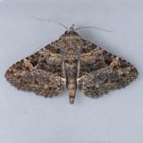 8499  Common Fungus Moth - Metalectra discalis