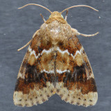 11120 – Schinia parmeliana