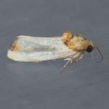 9131 Yellow Spragueia – Spragueia apicalis