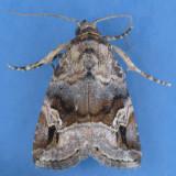 9033 Ozarba Moth - Ozarba nebula