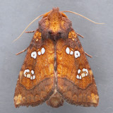 9485 Indigo Stem Borer – Papaipema baptisiae
