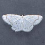 6270 Virgin Moth - Protitame virginalis