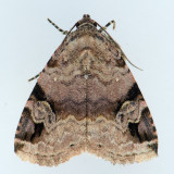 9030 Aerial Brown Moth - Ozarba aeria