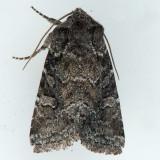 10368 Thinker Moth - Lacinipolia meditata
