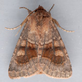 10524  Bronzed Cutworm - Nephelodes minians
