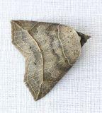 8493 Thin-lined Owlet - Isogona tenuis