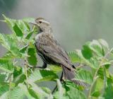 Red-winged Blackbird female
