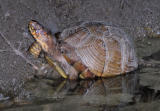 Box Turtle 3
