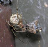 Parasteatoda tepidariorum - Common House Spider