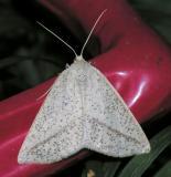 6858 Lychnosea intermicata female