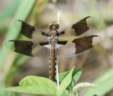 Common Whitetail male juvenile