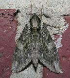 7790  Hagen's Sphinx - Ceratomia hageni