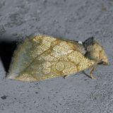 9781 The Gold Moth - Basilodes pepita