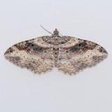 7416  Bent-line Carpet female - Orthonama centrostrigaria