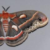 Apatelodidae - Sphingidae (7649 - 7894 )
