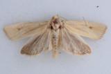 3099  Eucosma bipunctella ***