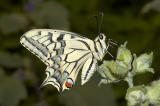 Butterfly  (Papilio machaon)