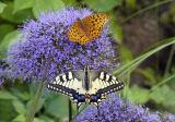 Butterflies meet