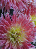 Yellow and coral dahlias
