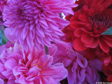 Rasberry pink and red dahlias