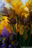 Iris assortment