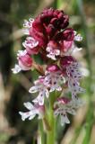 Swedish orchids
