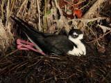 Black-necked Stilt Nesting