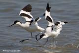 Avocetta (Recurvirostra avosetta)