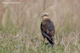 Falco di palude (Circus aeroginosus)