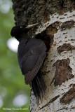 Picchio nero (Dryocopus martius)