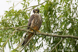Lodolaio (Falco subuteo)
