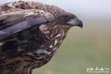 Aquila di mare (Haliaeetus albicilla)