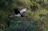 cicogna nera 5 jpg.jpg