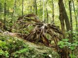 Tree Root Along Bald Knob Trail