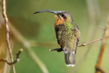 Rufous-brested Hermit
