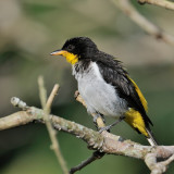Yellow-backed Tanager