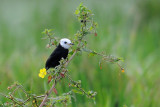 White-headed Marsh-tyrant