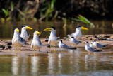 Larged-billed Tern and Yellow-billed Tern