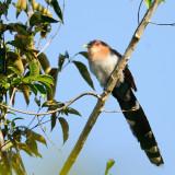 Scuirrel Cuckoo