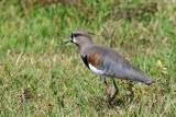 Southers Lapwing