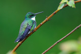 White-throated Hummingbird