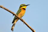 Little-Bee-eater