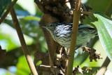 Amazonian-streaked Antwren