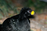 Bare-faced Curassow male