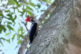 Lineated woodpecker1