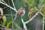 Rufous-collared Sparrow